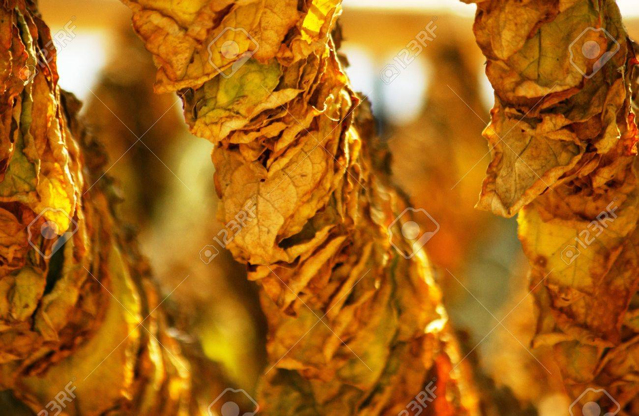 sun dried tobacco leaves Stock Photo - 13997728