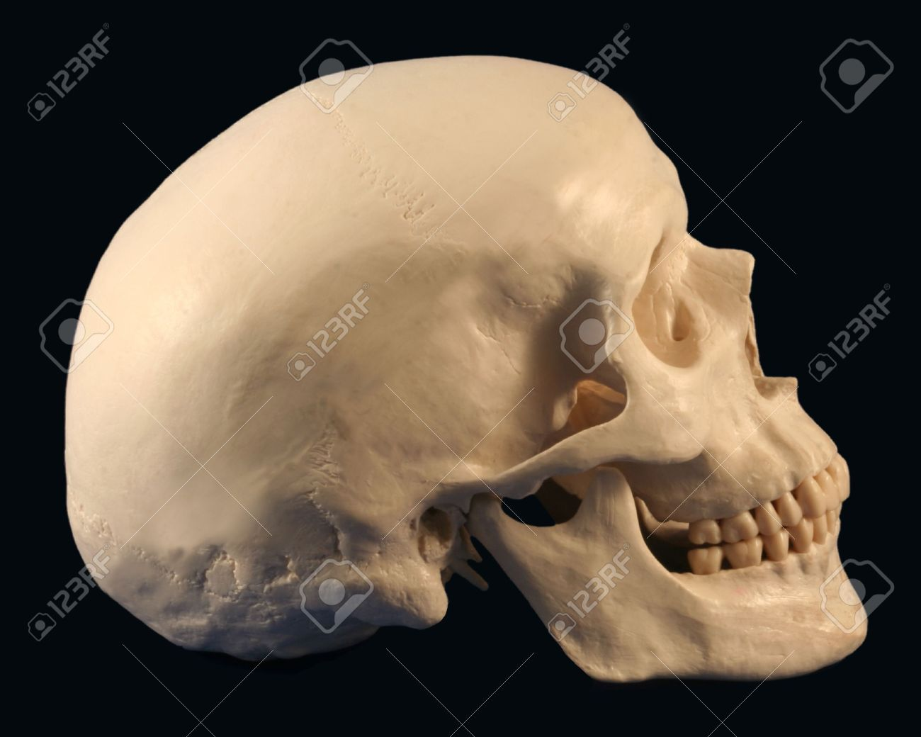 3472422 a side view of a human skull on black a side view of a human skull on black stock photo, picture and