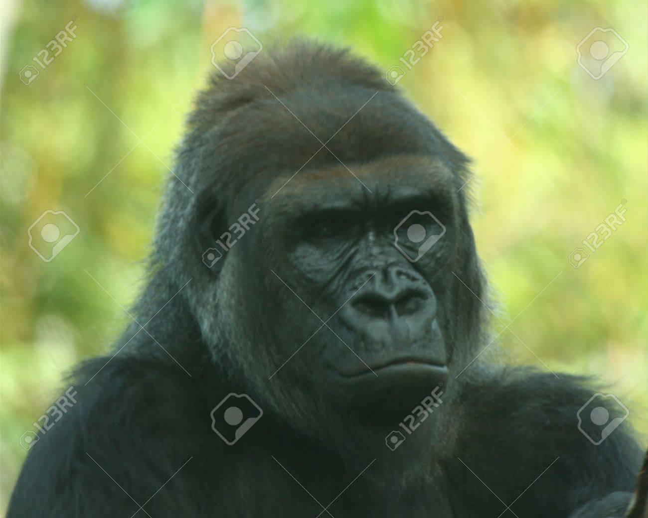 A Portrait Of A Sedate Adult Gorilla Stock Photo, Picture And ...