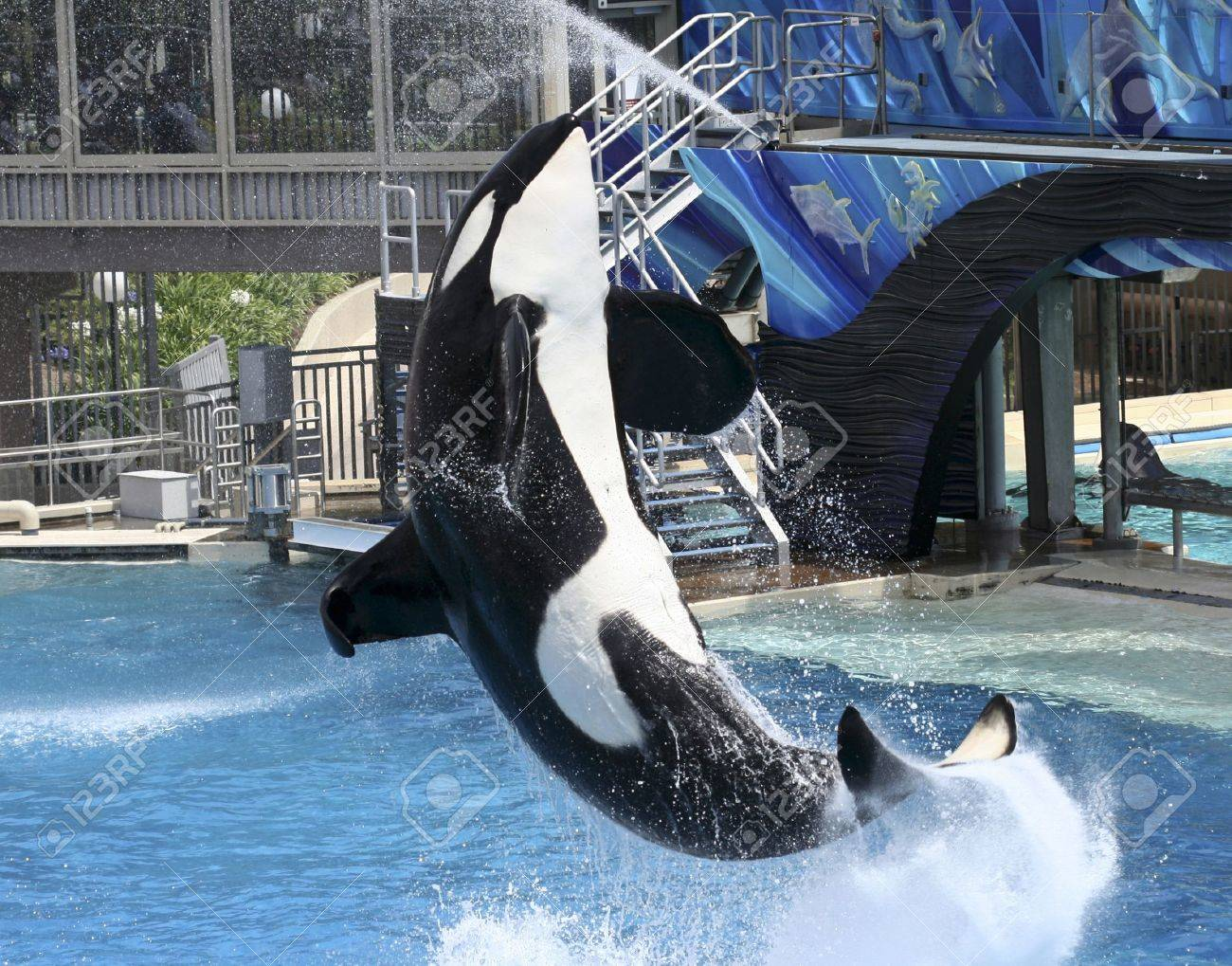 A Large Male Killer Whale Performs in a Marine Park Show - 10128342