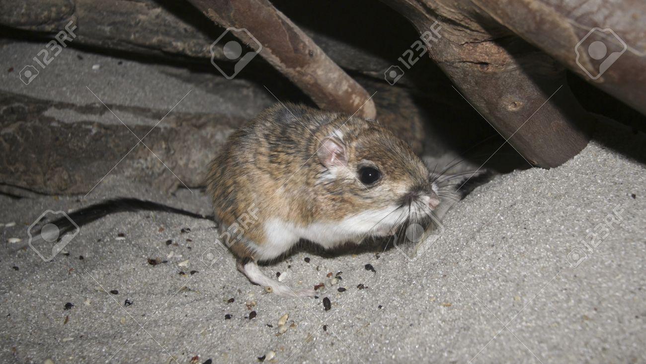 A Close Up of a Kangaroo Rat, genus Dipodomys - 10319713