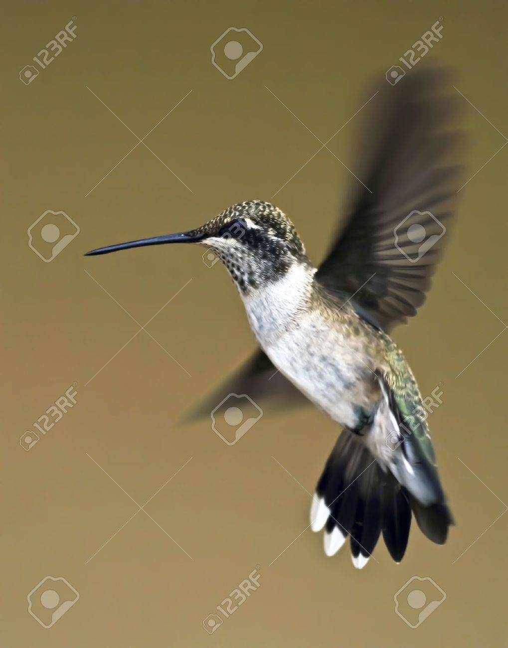 A Female Blue-throated Hummingbird Hovers Momentarily in Flight - 10486881