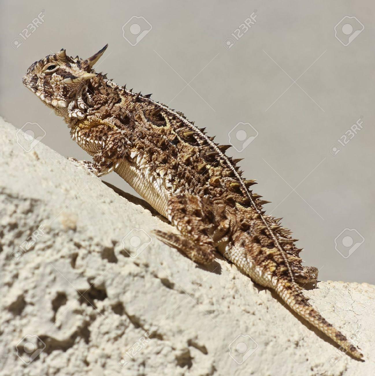 A Close Up of a Texas Horned Lizard Climbing on a Stucco Wall - 13991517
