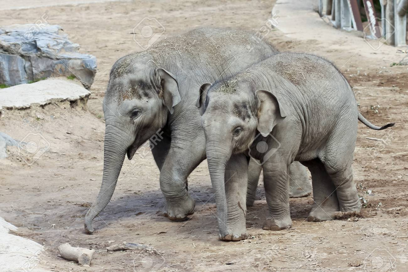 A Pair of Baby Asian Elephants Walk in Their Zoo Enclosure