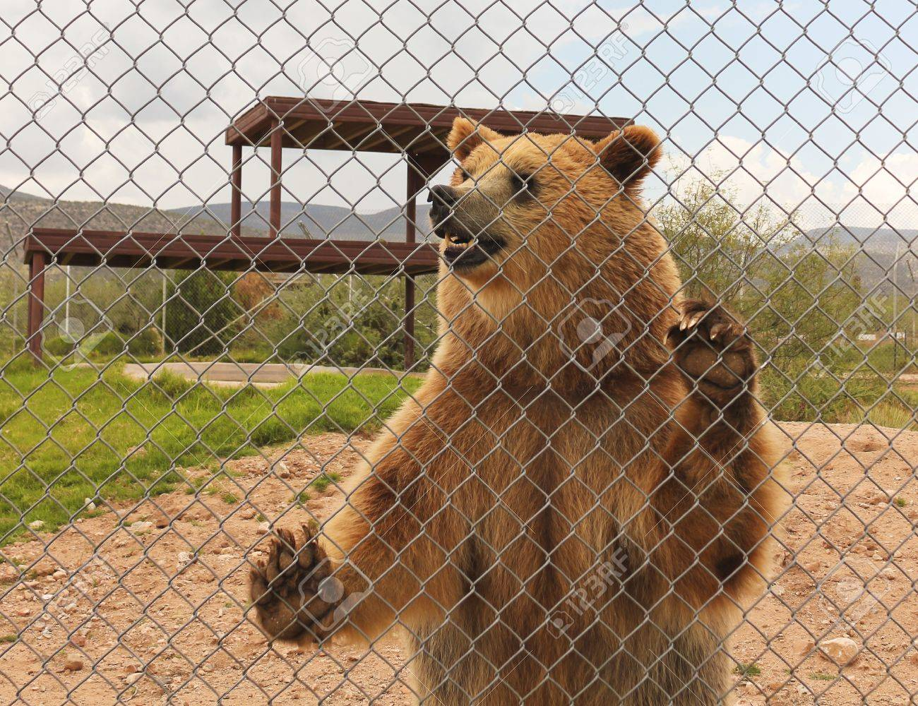A Grizzly Bear Stands Against The Fence Of Its Zoo Enclosure Stock Photo, Picture And Royalty Free Image. Image 21647271.