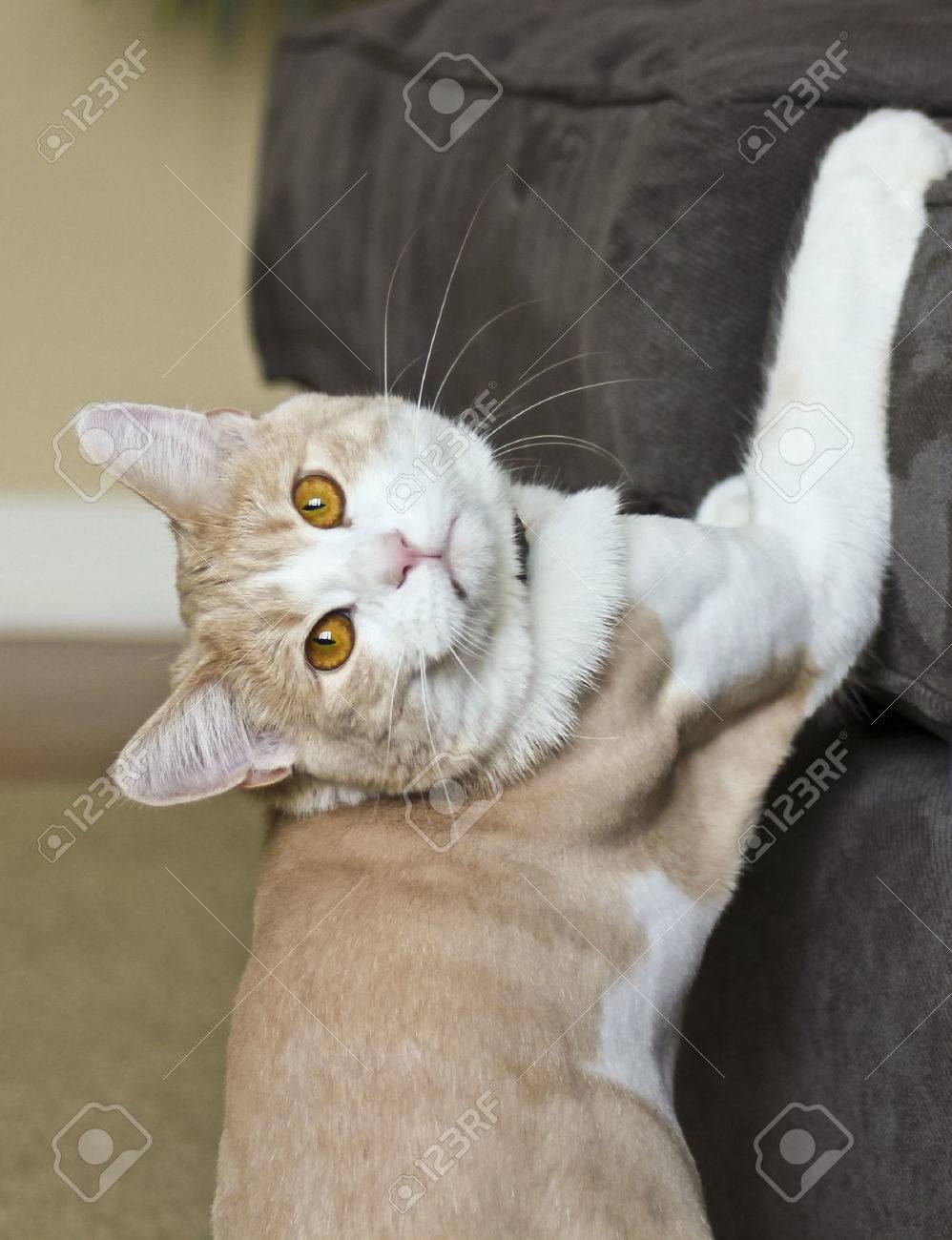 A Tabby Cream House Cat Caught in the Act Scratching a Sofa - 41763574