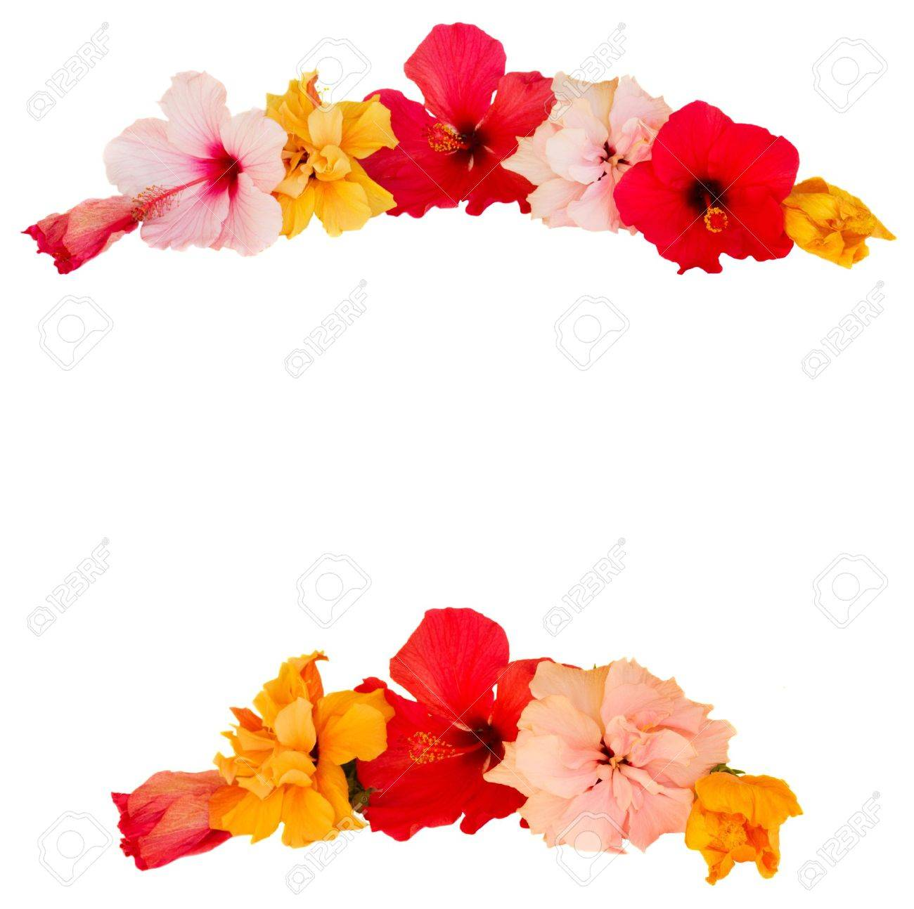 Frame Of Multicolored Hibiscus Flowers Isolated On White Background