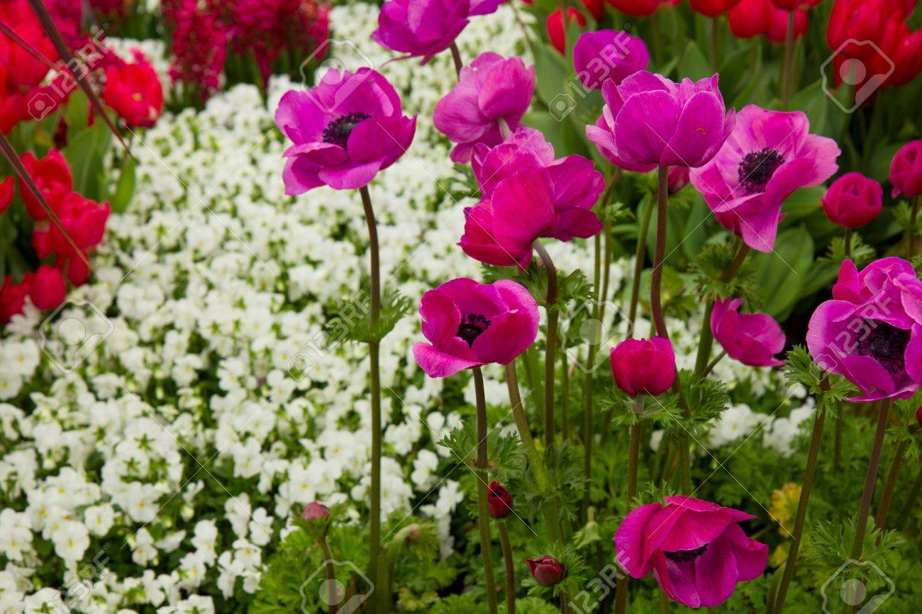 colorful flowerbed of anemones in Keukenhof garden, Holland Stock Photo - 13588979