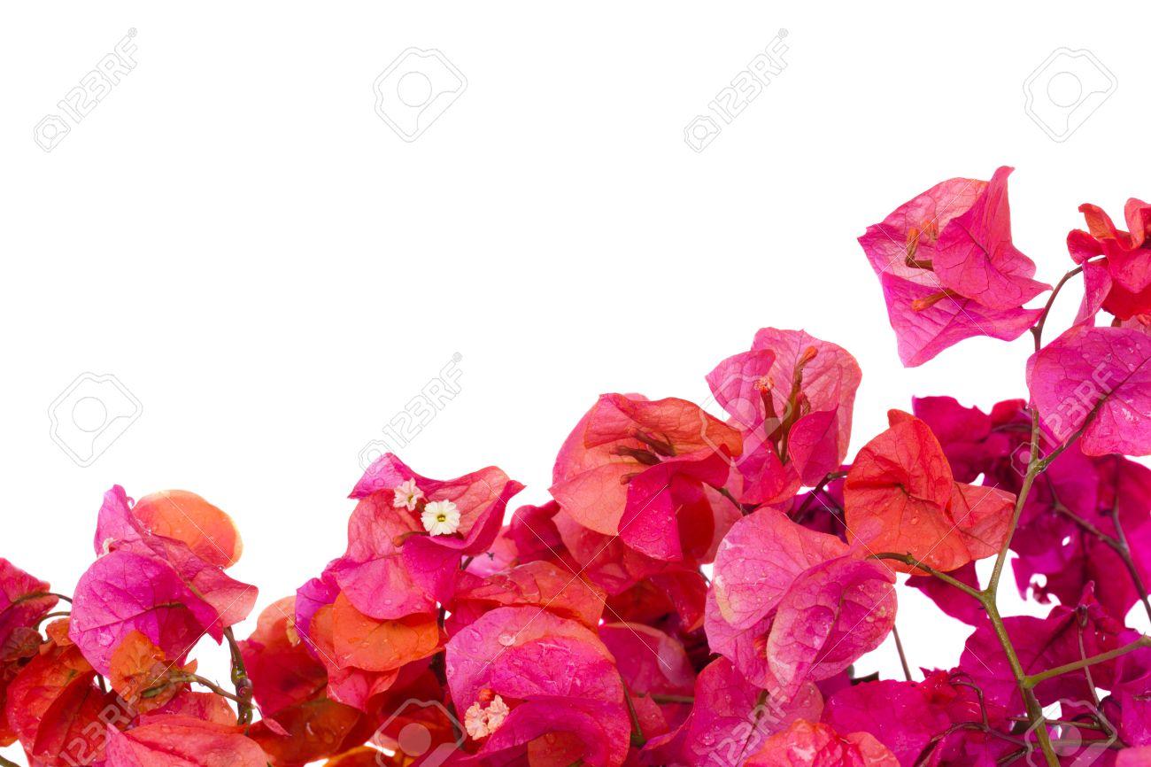 Bougainvillea pink flowers border isolated on white background stock bougainvillea pink flowers border isolated on white background stock photo 13914967 mightylinksfo
