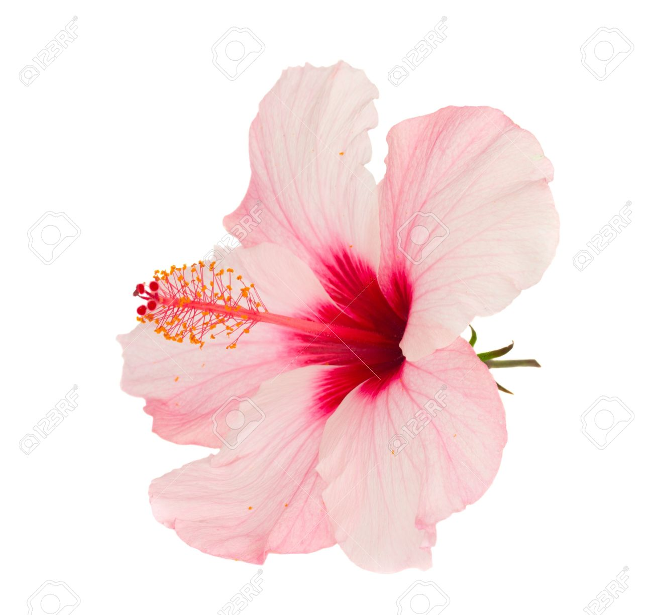 Pink hibiscus flower isolated on white background stock photo pink hibiscus flower isolated on white background stock photo 14460539 izmirmasajfo