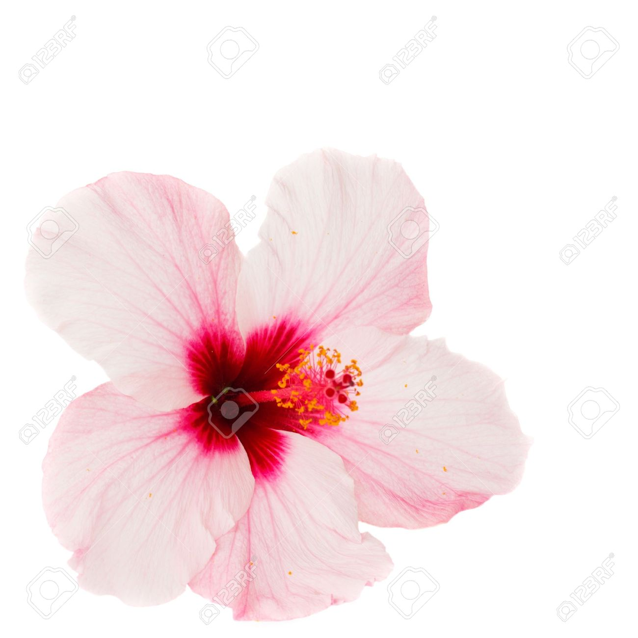 Pink Hibiscus Flower Isolated On White Background Stock Photo
