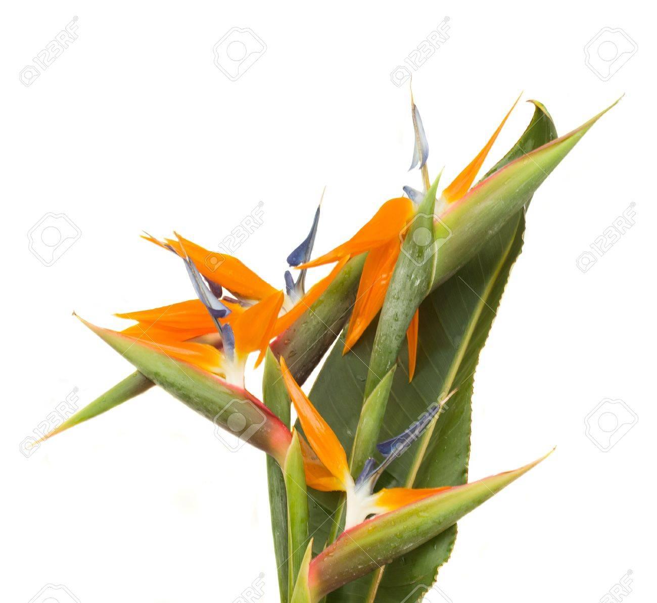 Bouquet Of Bird Of Paradise Flowers Strelitzia Isolated On.. Stock ...