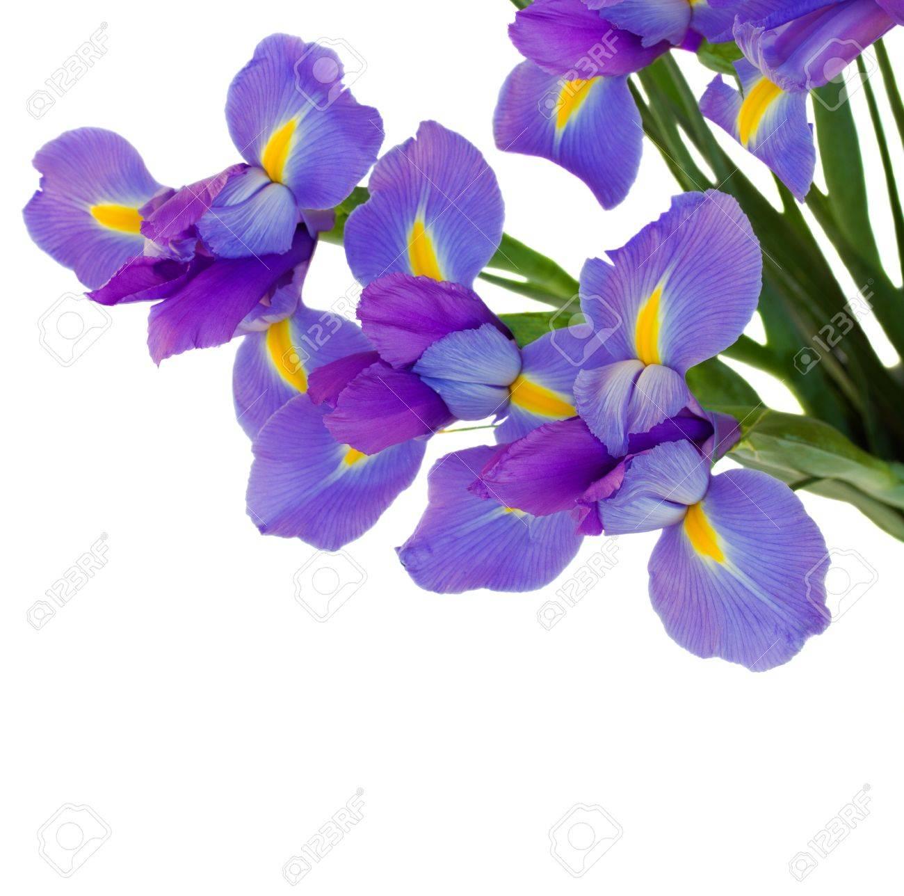 bouquet of irises Stock Photo - 17367134