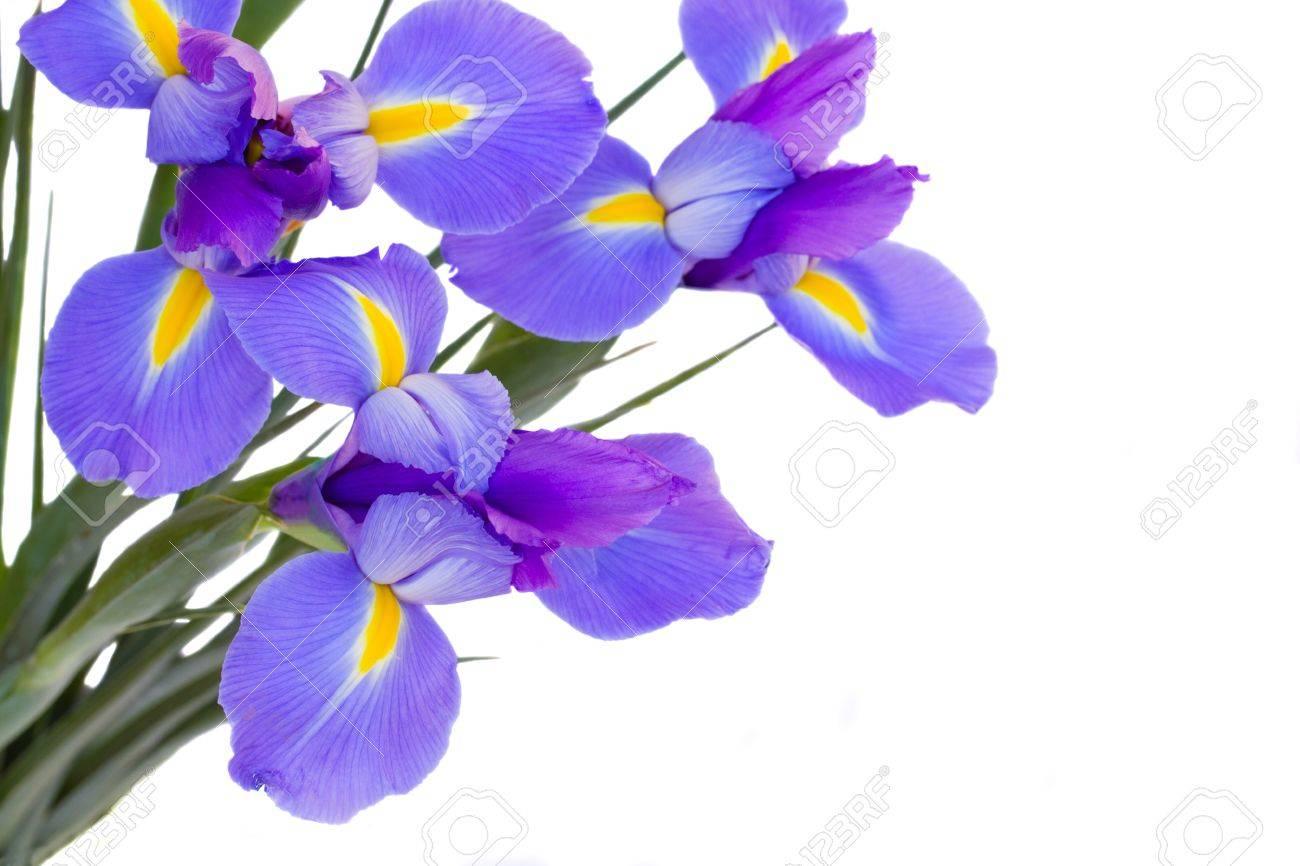 blue  irises flowers  isolated on white background Stock Photo - 18116376