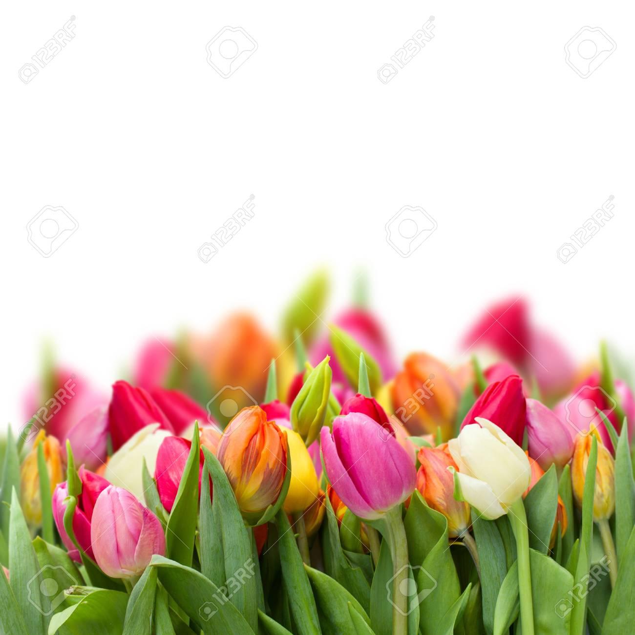growing fresh spring  tulips isolated on white background Stock Photo - 18275011