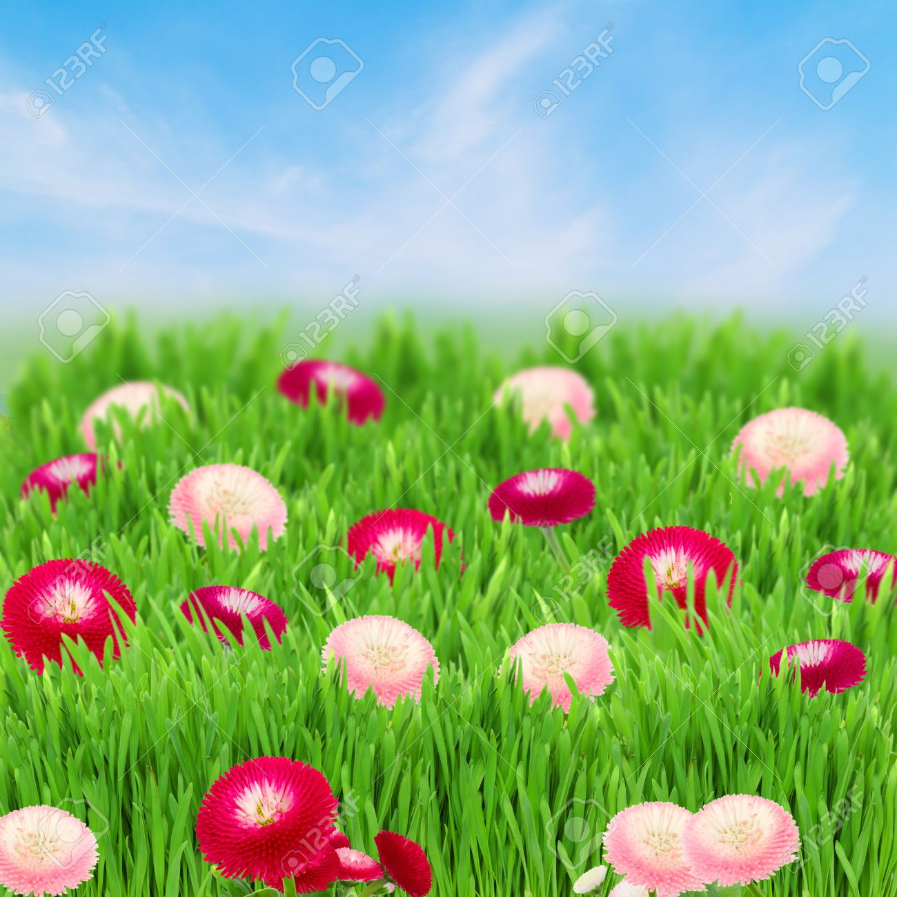 green grass blue sky flowers flower background png green grass lawn with daisy flowers on blue sky stock photo 19450841 green grass lawn with daisy flowers on blue sky photo picture