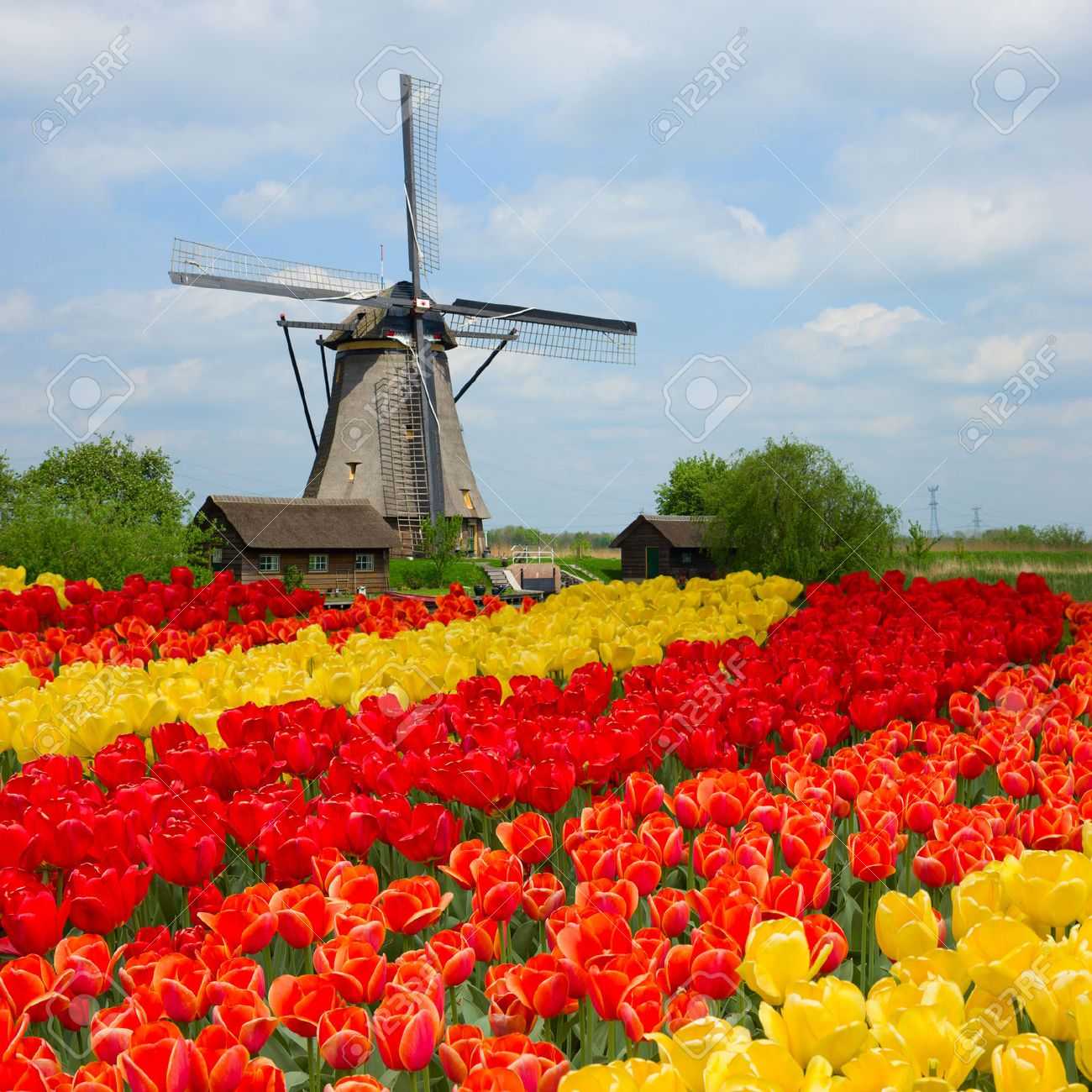dutch windmill over rows of tulips field holland stock photo