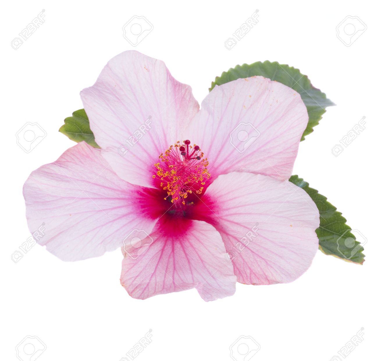 One pink hibiscus flower with leaves isolated on white background one pink hibiscus flower with leaves isolated on white background stock photo 26197239 izmirmasajfo