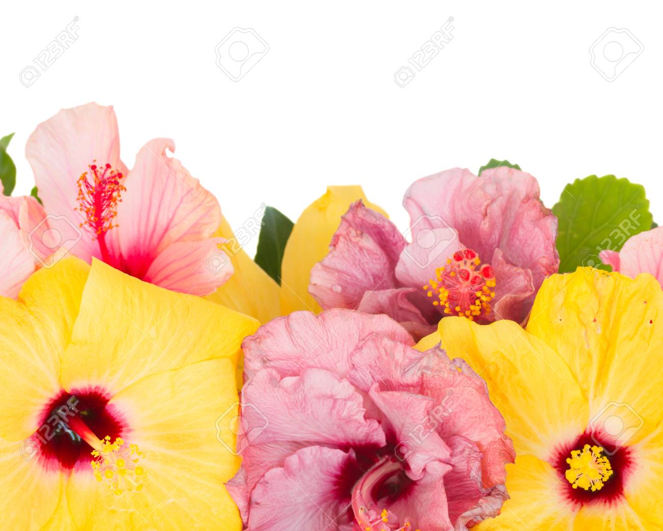 Border Of Fresh Hibiscus Flowers Isolated On White Background Stock