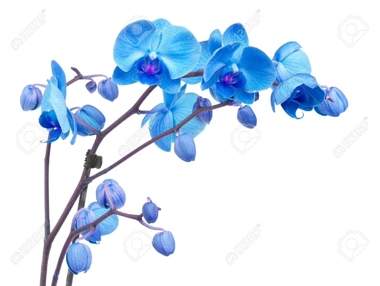 Orchid Branch With Blue Flowers Isolated On White Background Stock