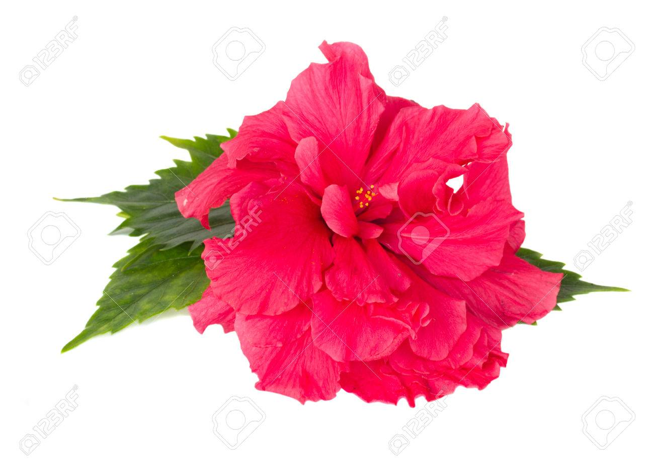 Pink Fresh Hibiscus Flower With Green Leaves Isolated On White