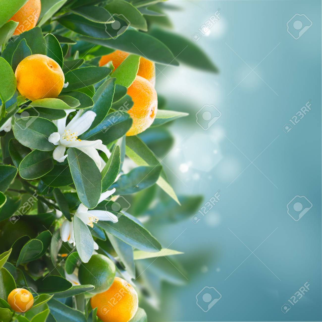 tangerine tree branches with fruits and flowers on blue sky stock