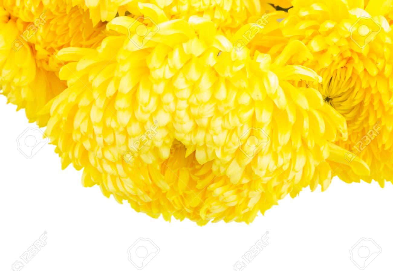 Border Of Yellow Mum Flowers Close Up Isolated On White Background