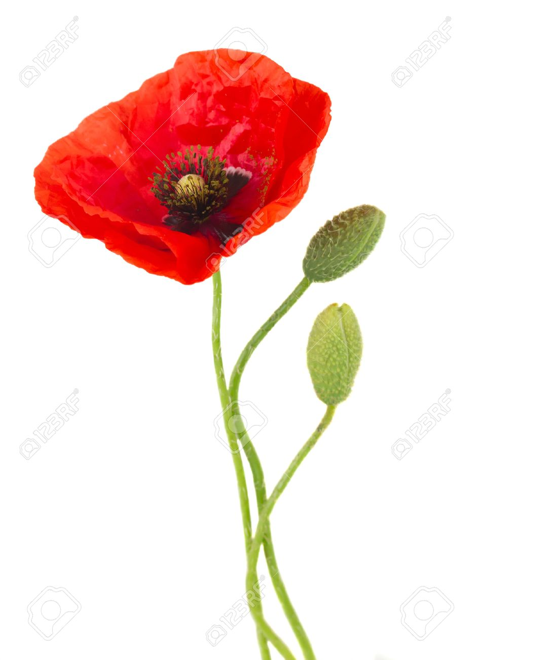 One Poppy Flower With Buds Isolated On White Background Stock Photo