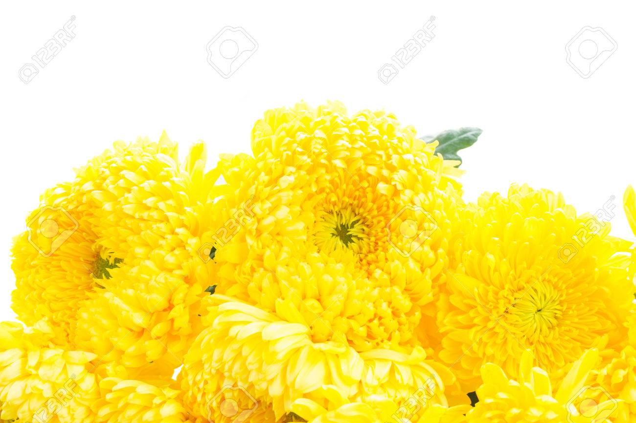 Border Of Yellow Mum Flowers Isolated On White Background Stock