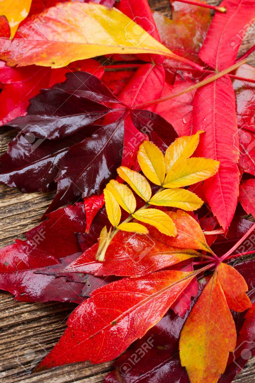 Colorful Yellow Purple And Red Fall Leaves Stock Photo Picture And Royalty Free Image Image 43822870