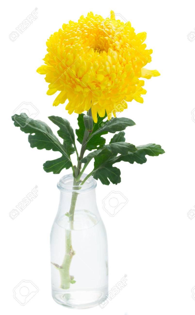 Yellow Mum Flower In Vase Isolated On White Background Stock Photo