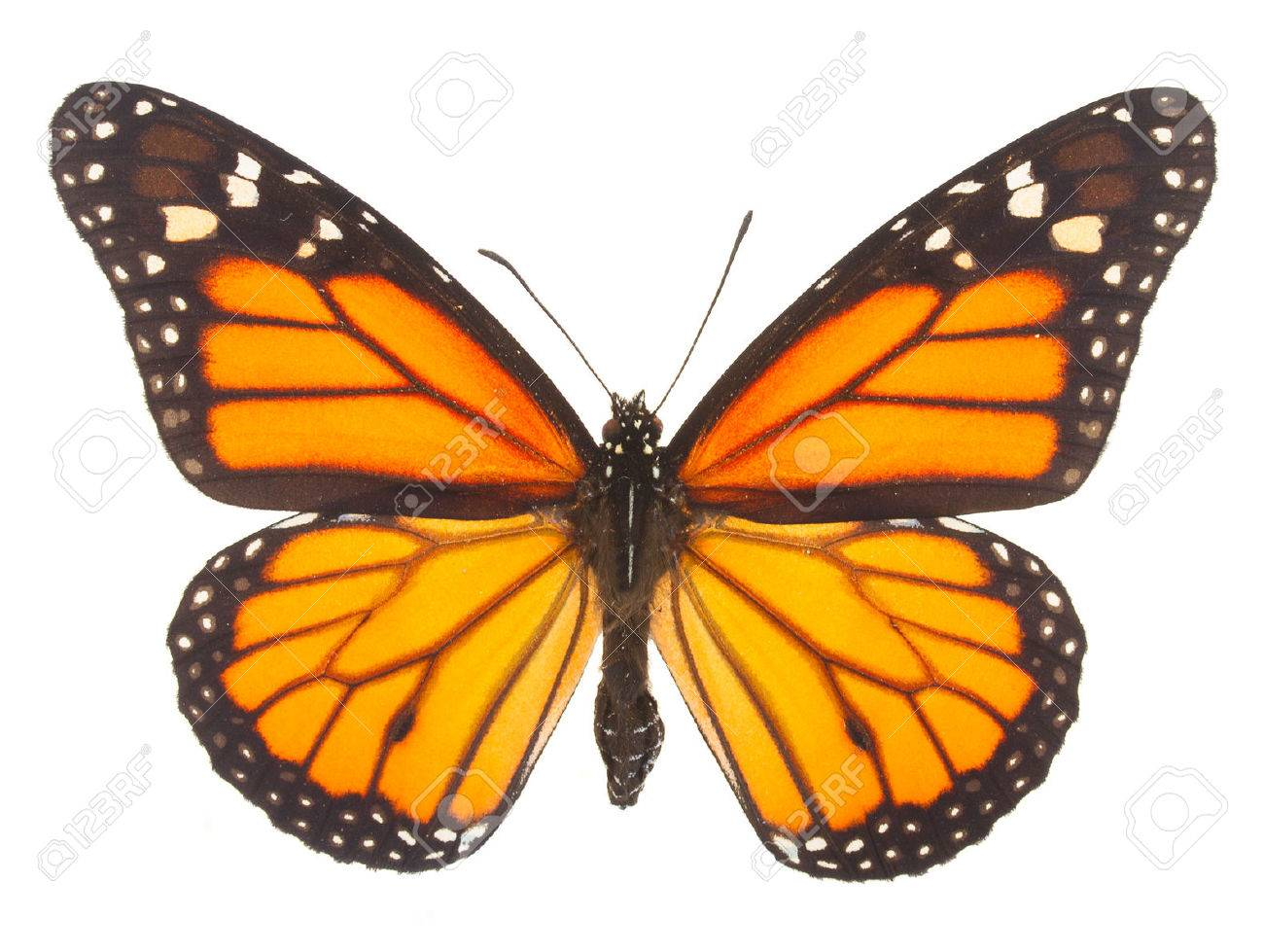 0067d343b Orange monarch butterfly isolated on white background Stock Photo - 46392261
