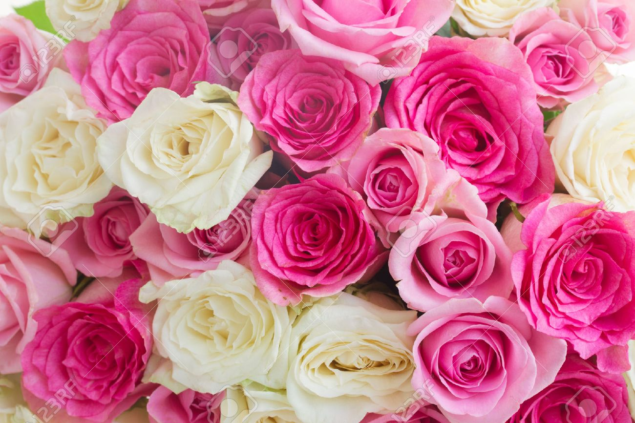 Background Of Pink And White Fresh Rose Flowers Close Up Stock Photo