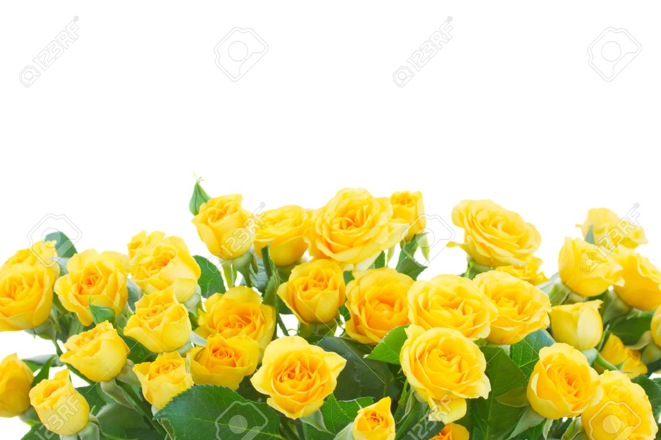 border of yellow roses isolated on white background stock photo