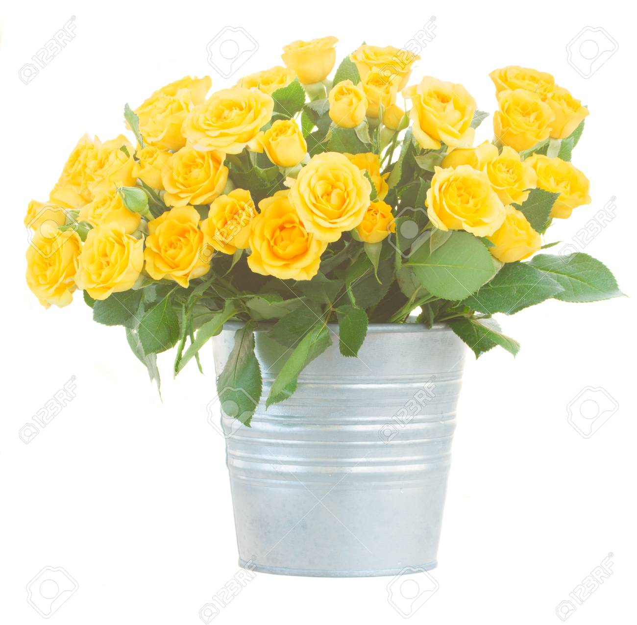 Bunch Of Yellow Roses With Green Leaves In Metal Pot Isolated