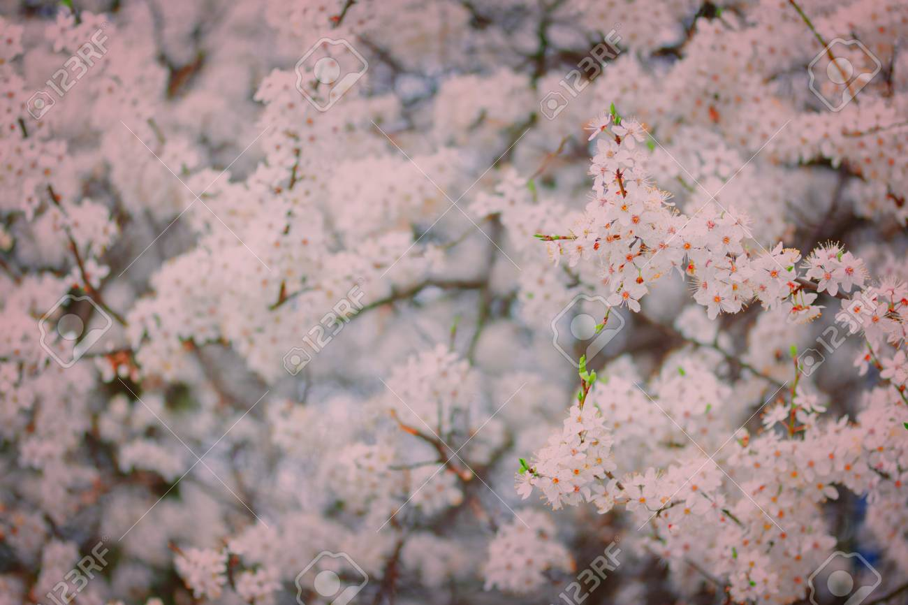 Spring bloom tree with white flowers shallow depth of field spring bloom tree with white flowers shallow depth of field retro toned stok mightylinksfo