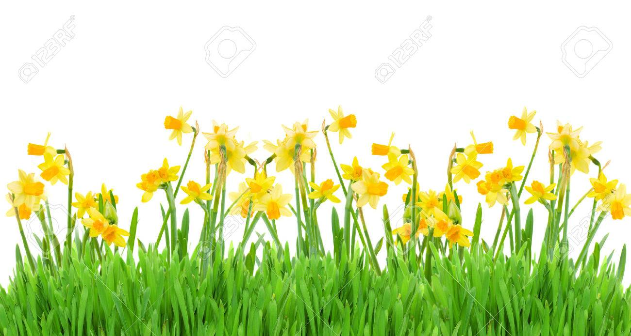 border of bright spring yellow daffodils with grass on white background - 53179236