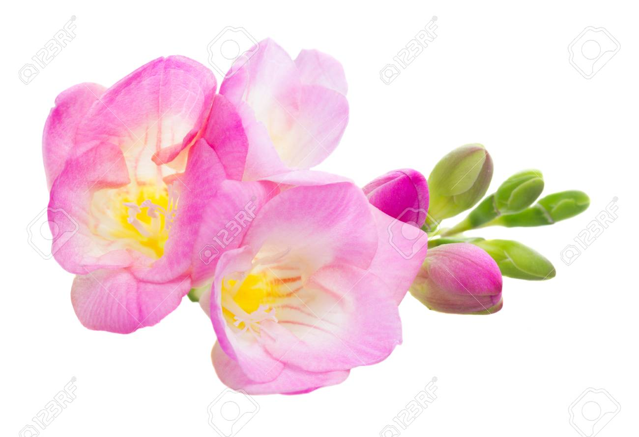 Fresh pink freesia flowers isolated on white background stock photo fresh pink freesia flowers isolated on white background stock photo 53608492 mightylinksfo