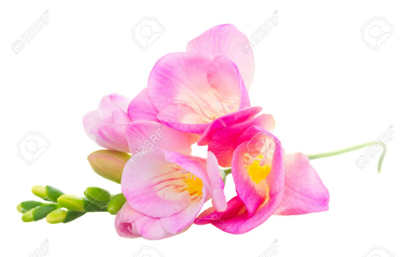 Fresh pink freesia flowers with buds isolated on white background fresh pink freesia flowers with buds isolated on white background stock photo 54625406 mightylinksfo
