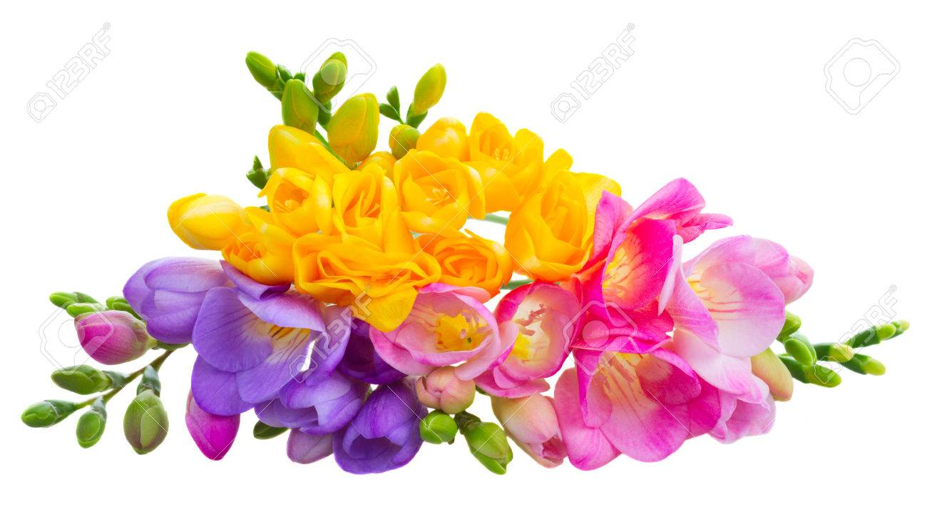 Pile of fresh yellow red pink and blue freesia flowers isolated pile of fresh yellow red pink and blue freesia flowers isolated on white background mightylinksfo