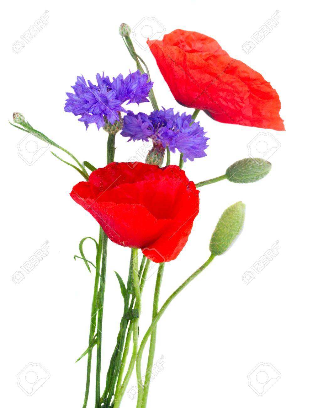 Poppy Red Flowers With Blue Cornflowers Green Buds Isolated Stock