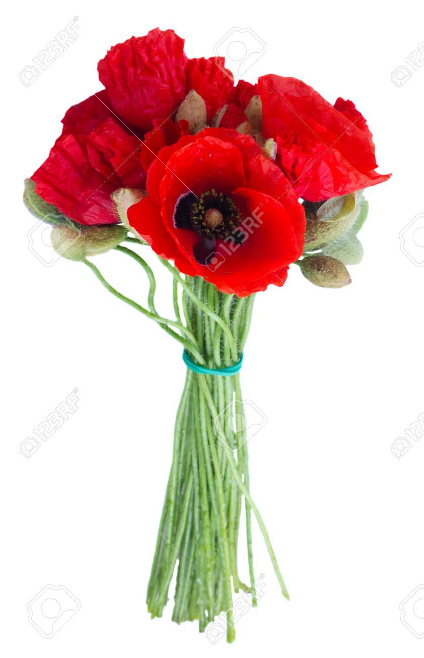 Posy Of Poppy Red Fresh Flowers Isolated On White Background Stock