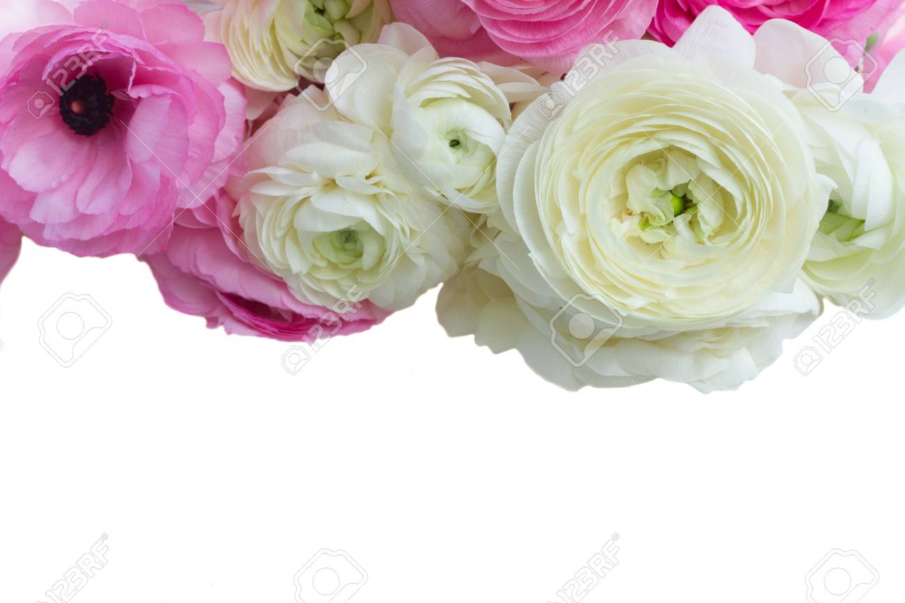 Pink And White Ranunculus Flowers Border Isolated On White