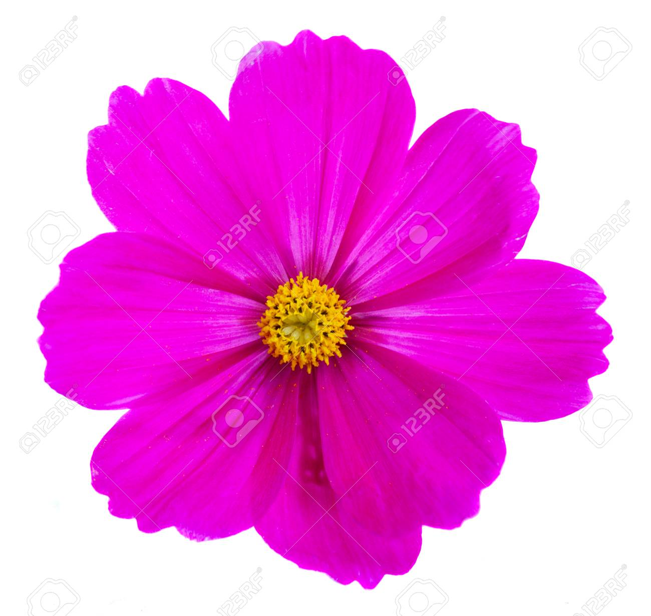 One cosmos dark pink flower isolated on white background stock photo one cosmos dark pink flower isolated on white background stock photo 59404323 mightylinksfo