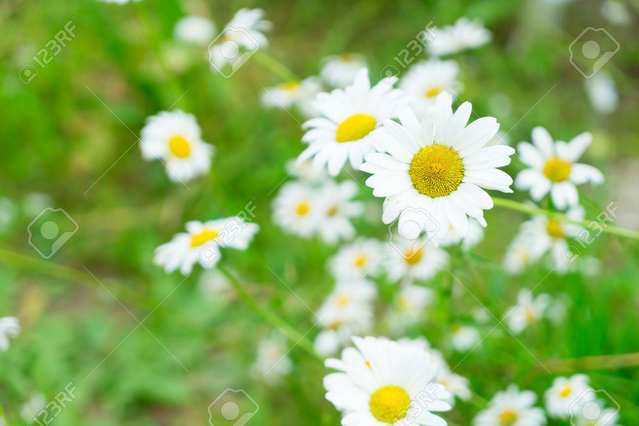 Daisy Fresh Blooming Flowers And Green Leaves Stock Photo Picture