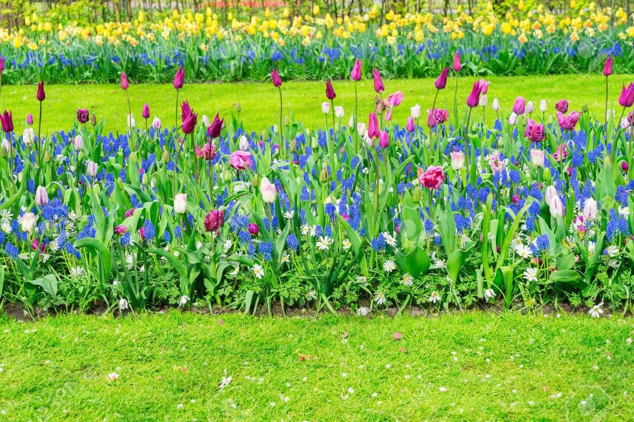Image De Parterre De Fleurs tulipes colorées et de plus en plus jacinthes au parterre de fleurs journée  de printemps