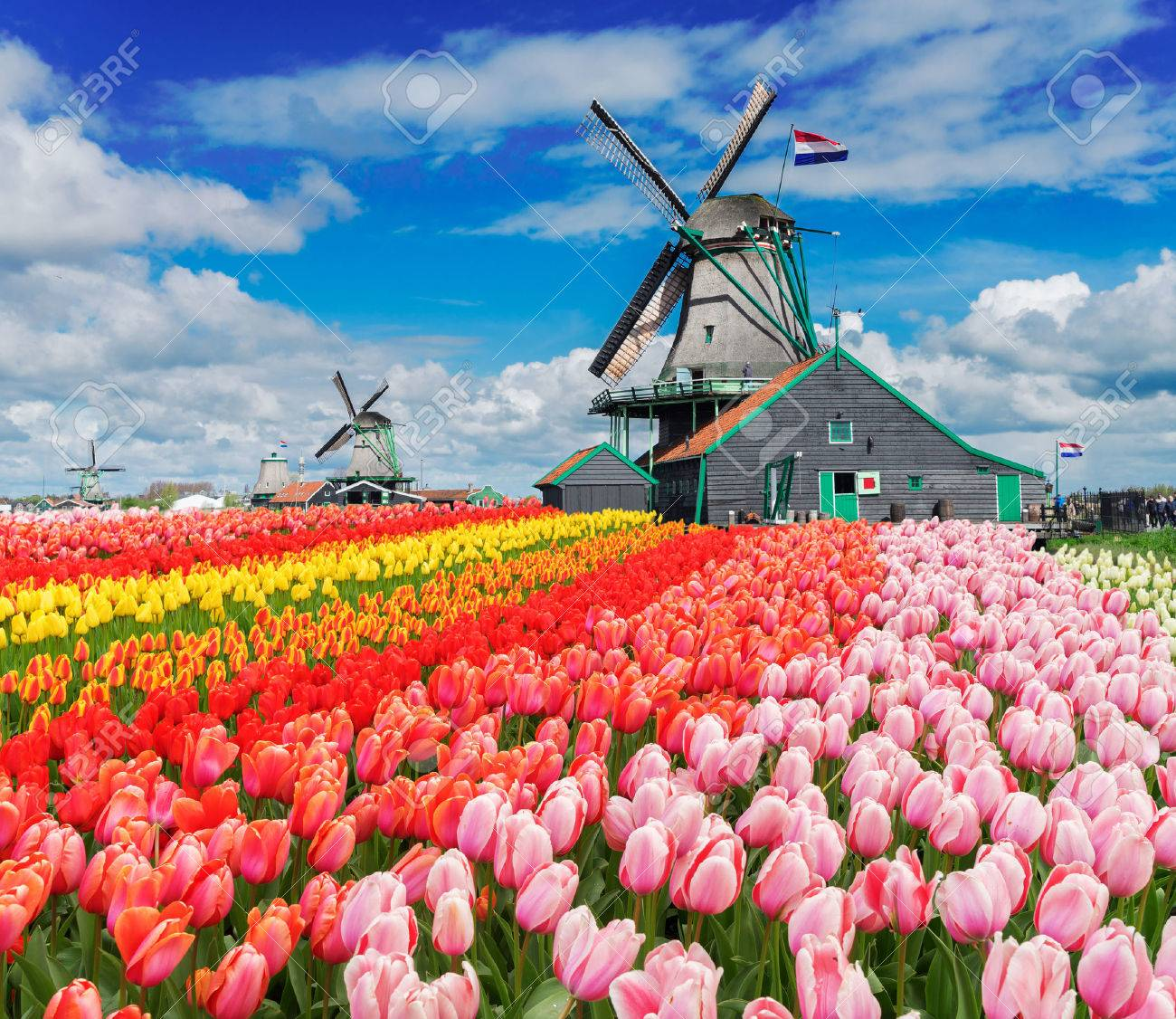 two traditional Dutch windmills with tulips rows at spring day, Netherlands - 68287772