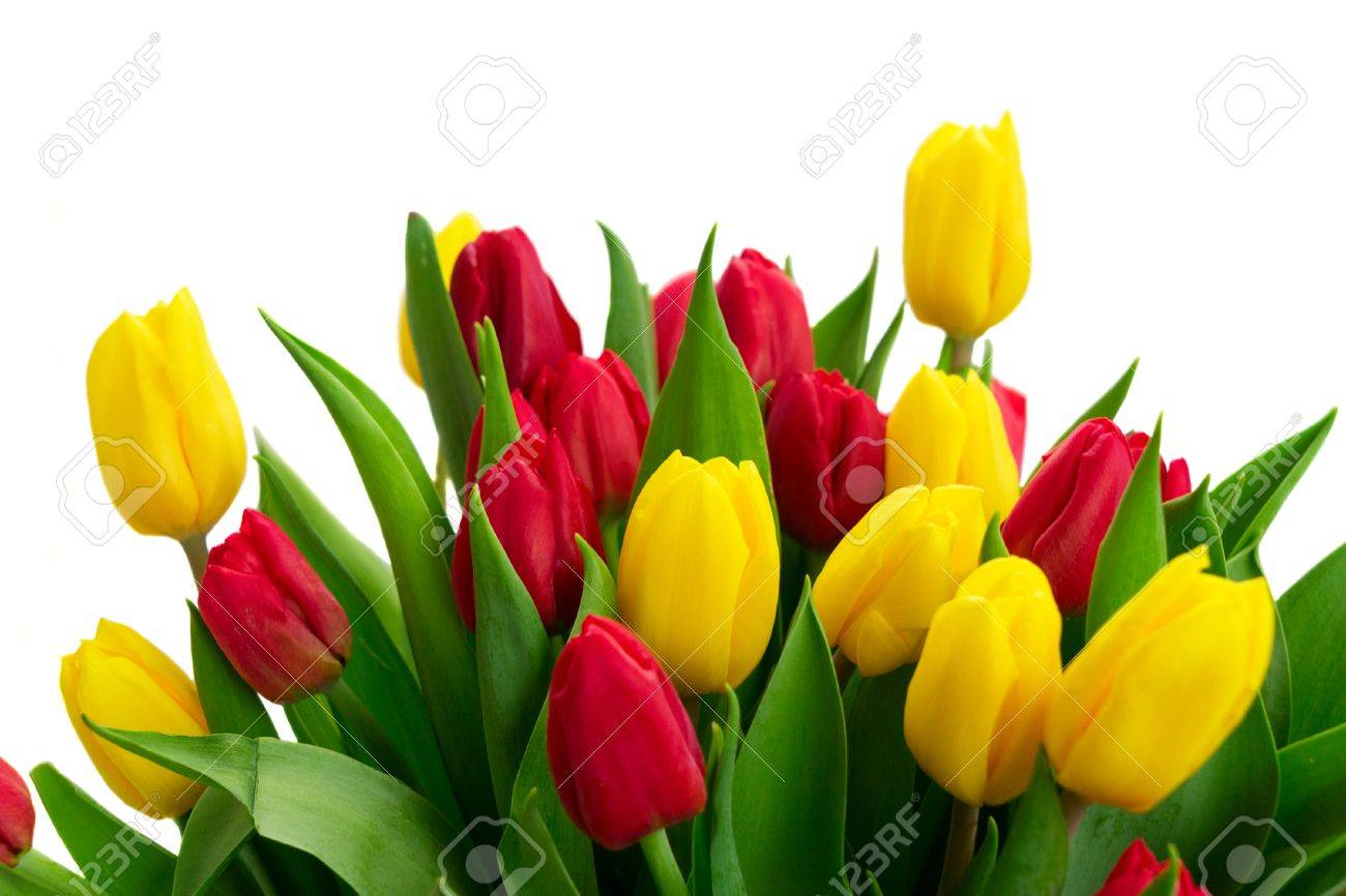 Fresh Yellow And Red Tulip Flowers With Green Leaves Close Up