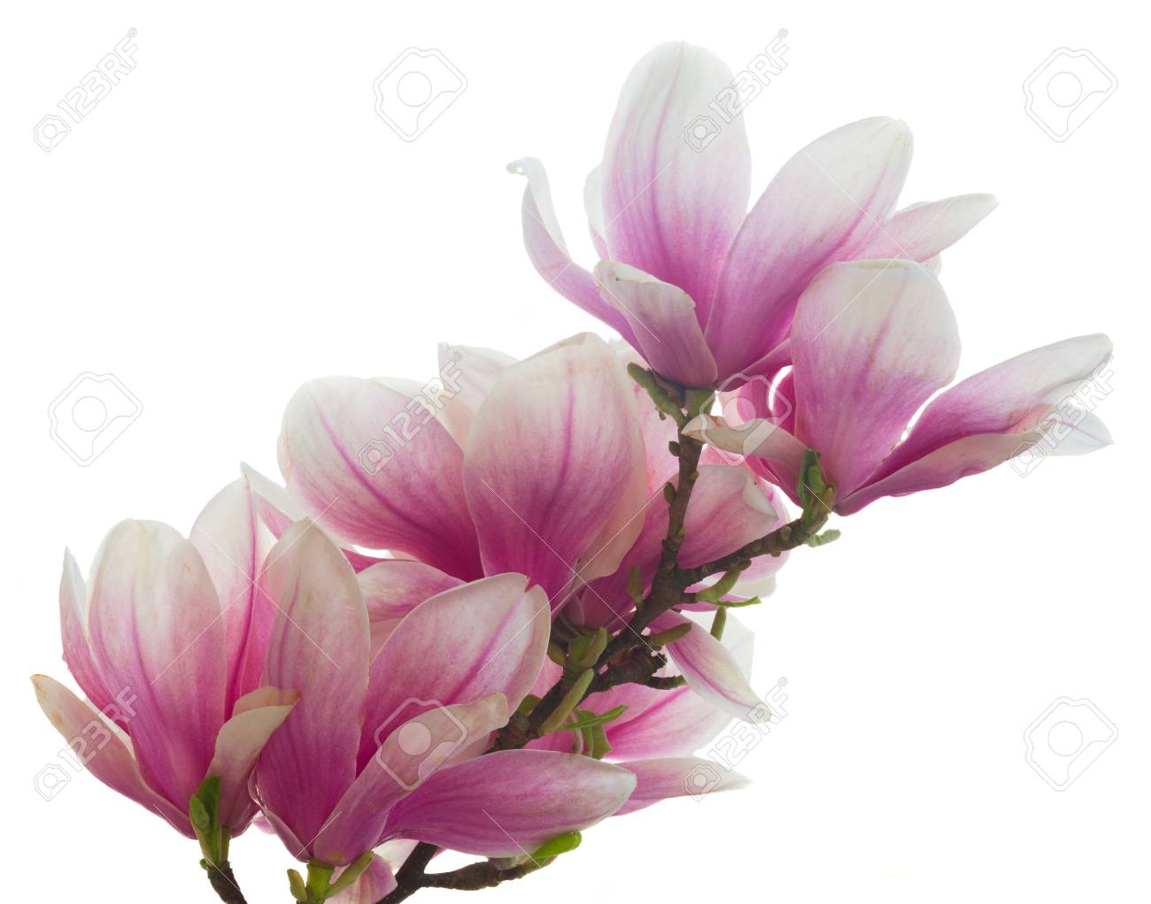 Magnolia Pink Flowers Blossom Isolated On White Background Stock