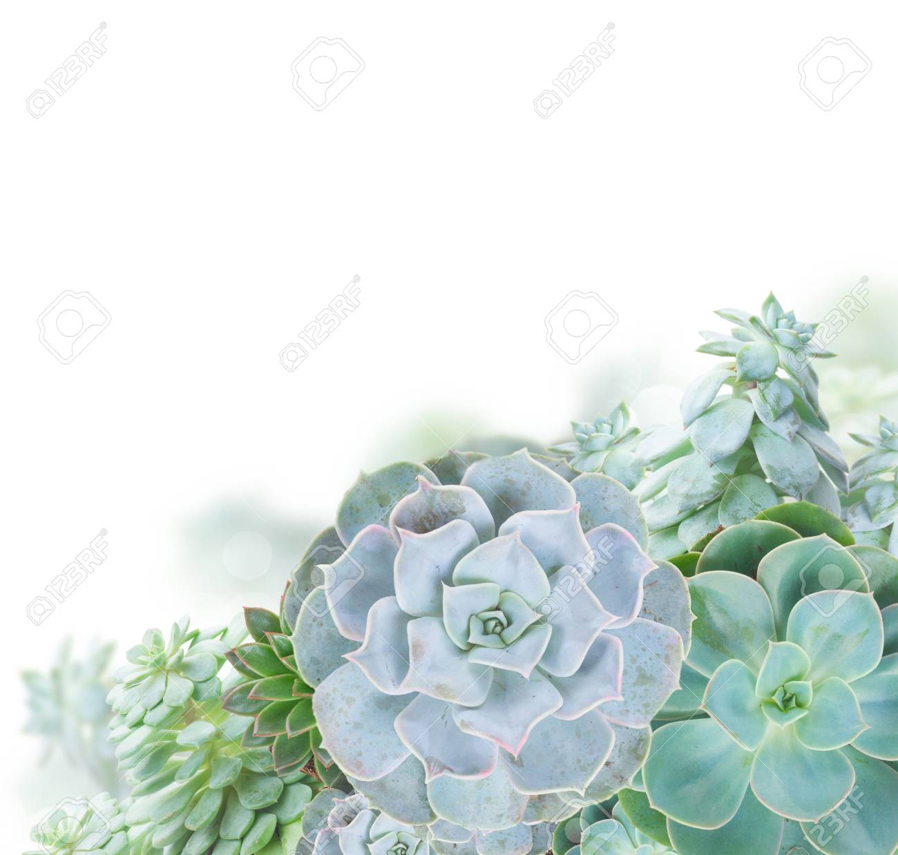 One Succulent Green Plants Border Isolated On White Background Stock Photo Picture And Royalty Free Image Image 76460380